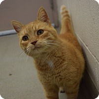 Adopt A Pet :: Orange Marmalade - Bucyrus, OH