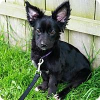 Adopt A Pet :: Beaux - Bristol, CT