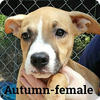 Adopt A Pet :: Autumn - Burlington, VT