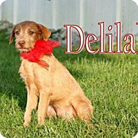 German Wirehaired Pointer/Pointer Mix Dog for adoption in Marion, Kentucky - Delilah