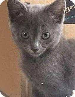 Domestic Shorthair Kitten for adoption in Denver, Colorado - Michelle