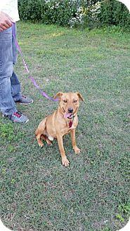 Finnish Spitz/Shar Pei Mix Dog for adoption in Granby, Missouri - Dash
