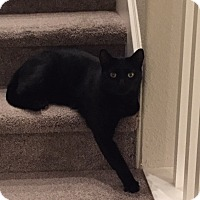 Domestic Shorthair Cat for adoption in El Dorado Hills, California - Black Cat