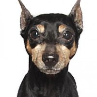 Miniature Pinscher Dog for adoption in Oakland Park, Florida - Toto