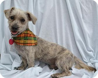 Poodle (Miniature)/Lhasa Apso Mix Dog for adoption in Junction, Texas - Ozzy