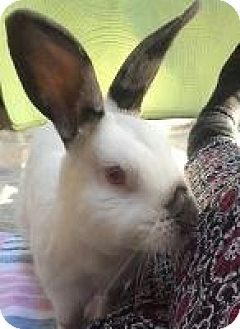 Californian Mix for adoption in Woburn, Massachusetts - Tenzin