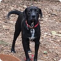 Labrador Retriever Mix Dog for adoption in Acworth, Georgia - Chris