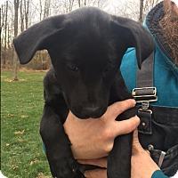 Adopt A Pet :: Puppy Giovanna - Brattleboro, VT