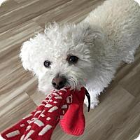Adopt A Pet :: Petey - Cutie Pie Poodle Boy! - Seattle, WA