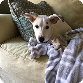 Blue Heeler Mix Puppy for adoption in DeForest, Wisconsin - Dot