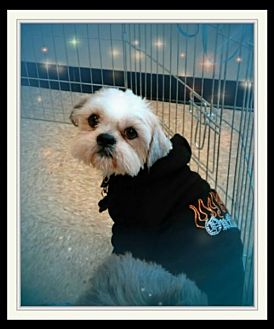 Lhasa Apso Dog for adoption in Euless, Texas - Harrison Ford