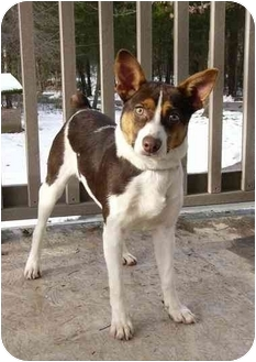 Rat Terrier/Australian Kelpie Mix Dog for adoption in Mocksville, North Carolina - Beckett