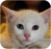 Domestic Shorthair Kitten for adoption in Markham, Ontario - Frosty