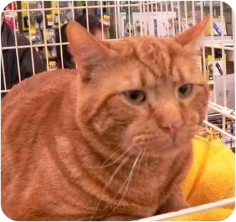 Domestic Shorthair Cat for adoption in Putnam Valley, New York - Chester