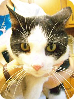 Domestic Shorthair Cat for adoption in Toledo, Ohio - Zorro