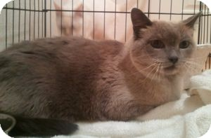 Siamese Cat for adoption in Colorado Springs, Colorado - Cleopatra