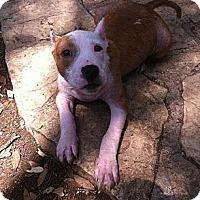 Adopt A Pet :: Chloe - Driftwood, TX