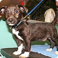 Adopt A Pet :: Mittens - Niceville, FL