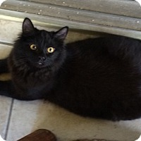 Adopt A Pet :: Black Orchid - Bonita Springs, FL