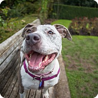 Pointer/Pit Bull Terrier Mix Dog for adoption in Portland, Oregon - Pippi