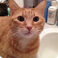 Adopt A Pet :: Sunkist - Bentonville, AR
