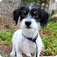 Adopt A Pet :: Rascal - Cat Friendly - Los Angeles, CA