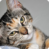 Adopt A Pet :: MINNIE (spayed calico kitten) - New Smyrna Beach, FL