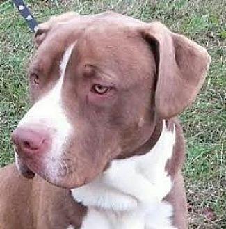 Labrador Retriever/Boxer Mix Dog for adoption in Lexington, Kentucky - Zeus