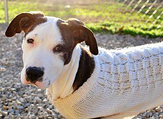 Great Dane Mix Puppy for adoption in Tanner, Alabama - Kiwi