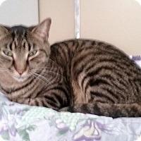 Domestic Shorthair Cat for adoption in Pottsville, Pennsylvania - Tiger