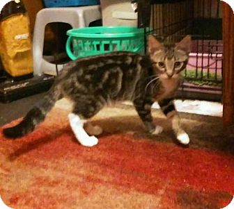 Bengal Kitten for adoption in Whitestone, New York - Ronnie