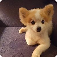 Adopt A Pet :: Pom Pom - Cary, NC