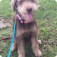 Terrier (Unknown Type, Medium)/Schnauzer (Standard) Mix Puppy for adoption in Glastonbury, Connecticut - Bailey