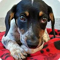 Adopt A Pet :: Coonley - Gahanna, OH