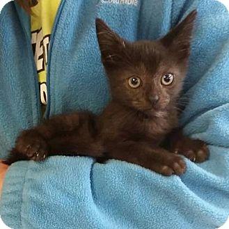 Domestic Shorthair Kitten for adoption in Ashtabula, Ohio - Donny