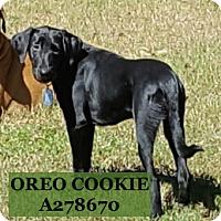 Labrador Retriever Dog for adoption in Conroe, Texas - OREO COOKIE