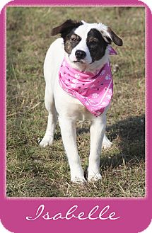 Australian Shepherd/Catahoula Leopard Dog Mix Dog for adoption in Hillsboro, Texas - Isabelle