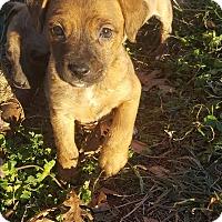 Adopt A Pet :: Laffy Taffy - Glastonbury, CT