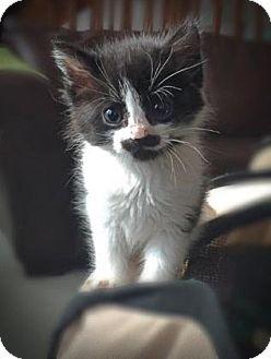 Domestic Longhair Kitten for adoption in Wichita, Kansas - Lila
