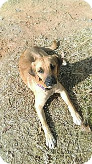 Labrador Retriever Mix Puppy for adoption in Burlington, New Jersey - Perry