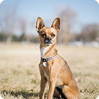 Adopt A Pet :: Ginger - Pueblo, CO