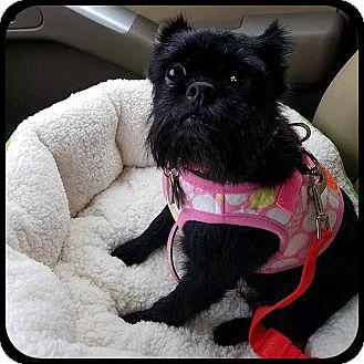 Affenpinscher Dog for adoption in Seymour, Missouri - GYPSY ROSALEE in Bryant, AR.