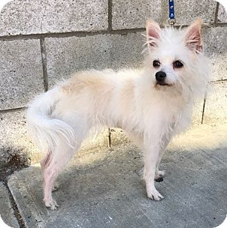 Jack Russell Terrier/Rat Terrier Mix Dog for adoption in Los Angeles, California - Liz Clairbone