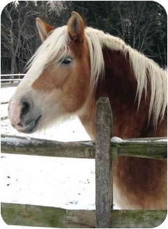 Belgian/Quarterhorse Mix for adoption in Washington, Connecticut - Butterscotch