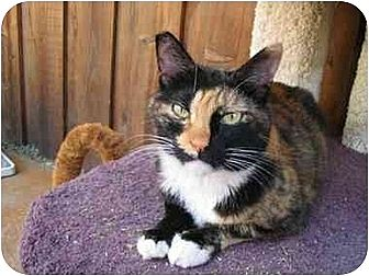 Domestic Shorthair Cat for adoption in Toluca Lake, California - Olivia