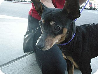 Miniature Pinscher Mix Dog for adoption in Las Vegas, Nevada - Snoop