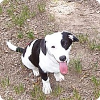 Adopt A Pet :: Miss Oreo - Conway, AR