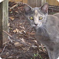 Domestic Shorthair Cat for adoption in Orlando-Kissimmee, Florida - Callie
