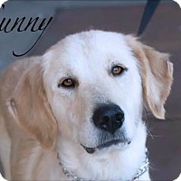Adopt A Pet :: SUNNY - Fort Worth, TX