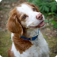 Brittany Dog for adoption in Kent, Ohio - VA/Graham